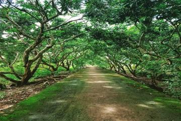 Trải nghiệm không gian xanh đầy cây trái tại Cồn Mỹ Phước - Sóc Trăng